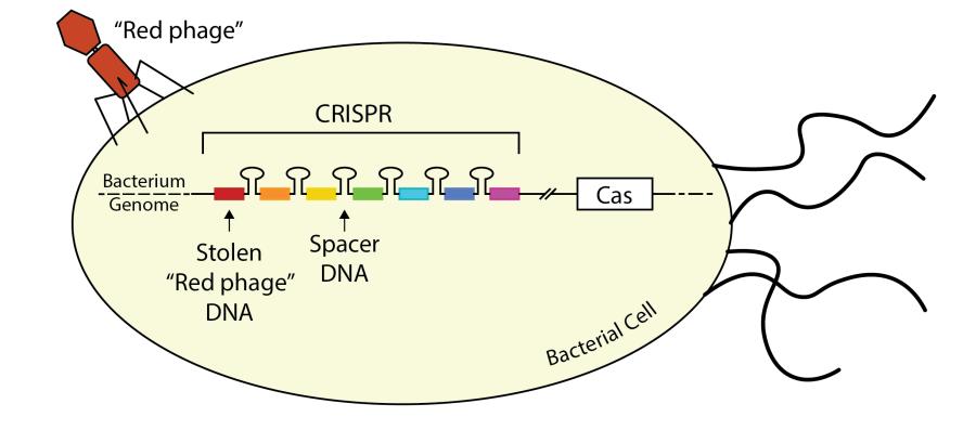 CRISPRfigure-01