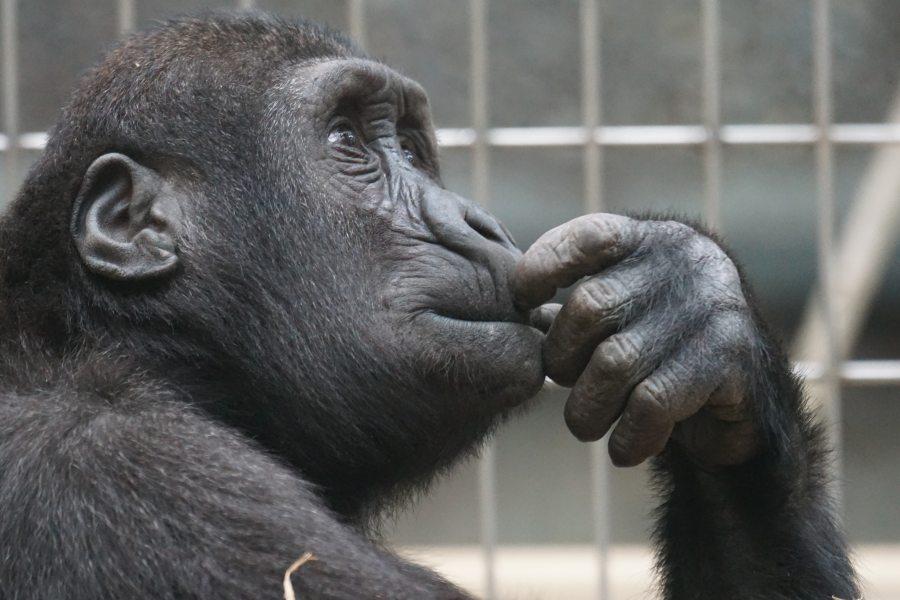 ape-chimp-chimpanzee-33535