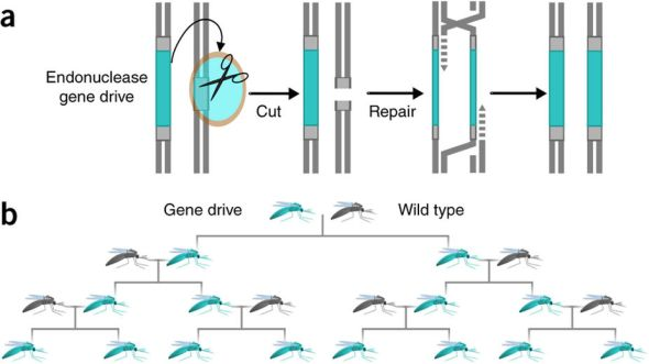gene_drive_fig_dicarlo_natbiotech