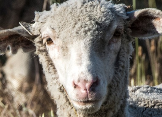 Sheep and Goats Clean Up Travis AFB