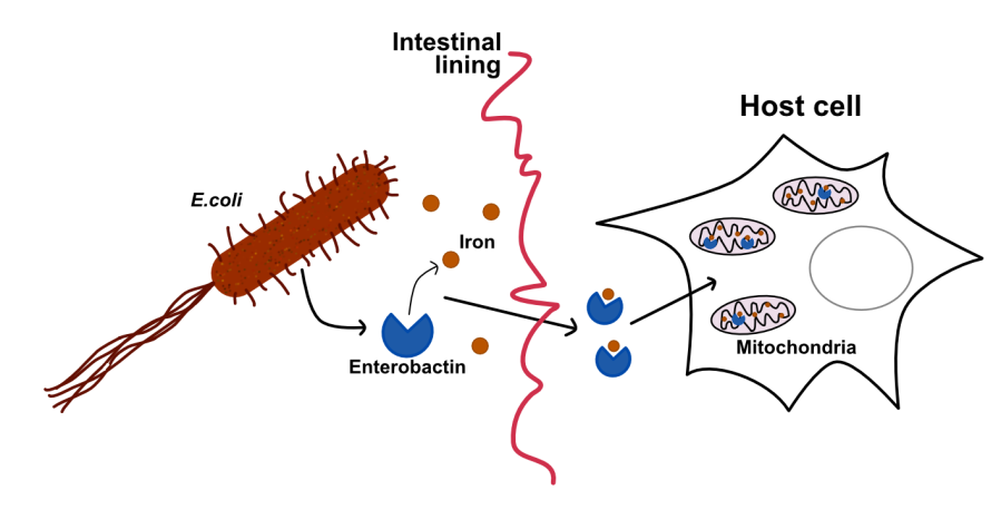 enterobactin_function_diagram
