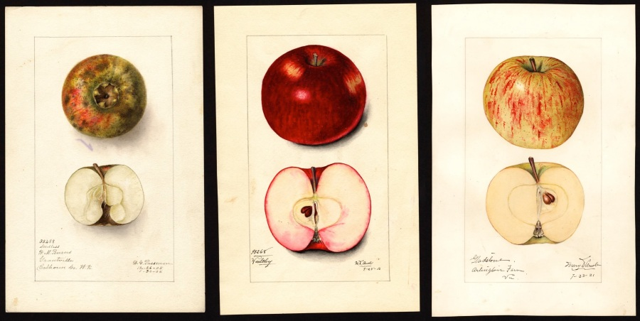 USDA historic apple plates